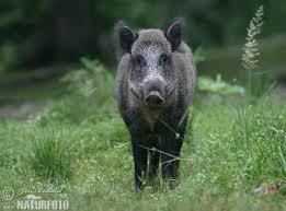 Syge vildsvin skal nødig smitte danske svinebesætninger.