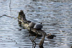 Skildpadderne henter lidt solvarme, inden de glider under overfladen igen.