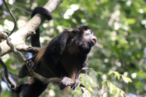 Mantled Howler Monkey, som vi kalder en brøle-abe. Foto: Cathrine Valentin.