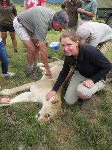 Nina Hedegaard var med, når løver skulle bedøves og tjekkes eller behandles.