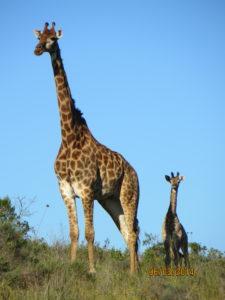 Nina Hedegaard fik set en giraf med unge.