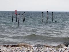 Skarver, der blandt andet er kendt for at ødelægge og tømme fiskernes garn.