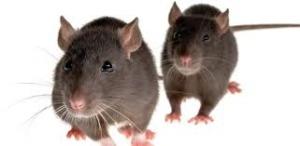 Rotterne stortrives og giver ekstra meget arbejde til Vej & Park, der må¨sætte flere mand af til rottejagt.