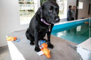 Svømmeklar hund med adgangsbillet og legedyr.