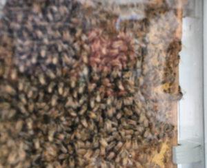 Et kig indenfor hos bierne.
